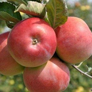 Яблоня ВЭМ-розовый (Код: 88542)