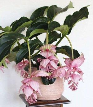 Мединилла Диаметр горшка:  17 см Высота примерно 40 см 😍 Королева комнатных растений Мединилла Магнифика, её роскошные цветки опускаются вниз и держатся несколько месяцев! Поверьте,если у вас в доме б