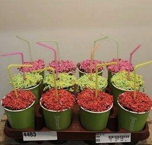 Нертера Диаметр горшка: 9 см Высота примерно 25 см  Фото стаканчиков реальное!  Какие они классные, очень оригинальная подача растения! Ягодки живые! Нертера, это очень эффективное, почвопокровное рас