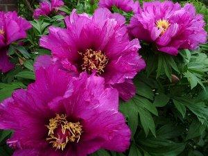 Morning Lilac