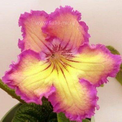 Цветочный калейдоскоп ФИАЛКИ — Стрептокарпусы
