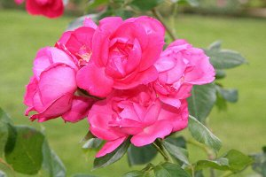 Роза IMPERIAL ROSE (сорт 'Decor')
