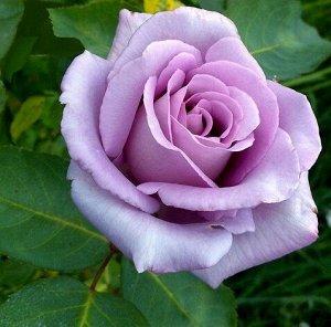 Роза IMPERIAL ROSE (сорт 'Moonlight')