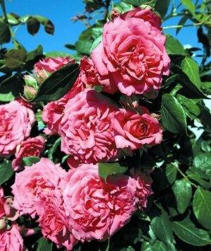 Роза IMPERIAL ROSE (сорт 'Mystic')