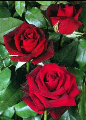 Роза IMPERIAL ROSE (сорт 'Nigredo')