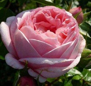 Роза IMPERIAL ROSE (сорт 'Prelude')