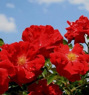 Роза IMPERIAL ROSE (сорт 'Red Flame')