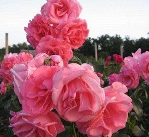 Роза IMPERIAL ROSE (сорт 'Tempera')