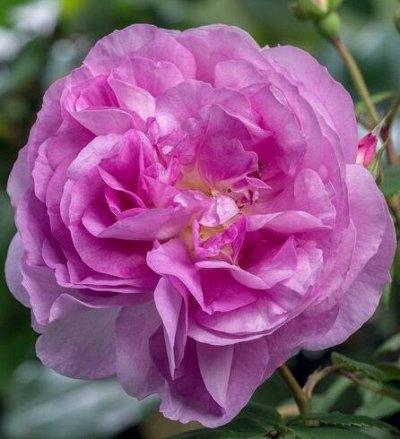 Огромный выбор саженцев! Цены супер — Розы IMPERIAL ROSE (Сербия)