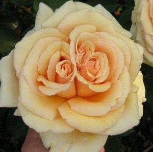Роза Kordes (сорт 'VALENCIA®')