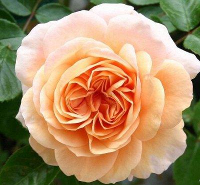 Огромный выбор саженцев! Цены супер — Розы Kordes, Tantau, Vissers (Польша, лицензия)