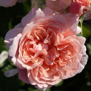 Роза Kordes (сорт 'Rose de Tolbiac®')