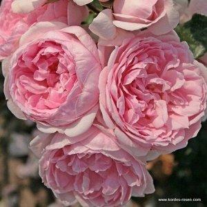 Роза Kordes (сорт 'CINDERELLA®')