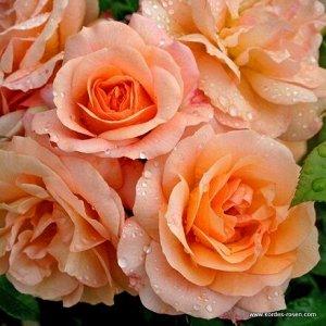 Роза Kordes (сорт 'APRIKOLA®')