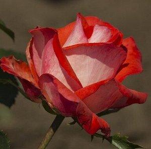 Роза (сорт 'CAP HORN')