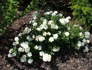 Роза почвопокровная (сорт 'Sea Foam')
