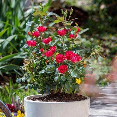 Огромный выбор саженцев! Цены супер — Розы корнесобственные в горшках