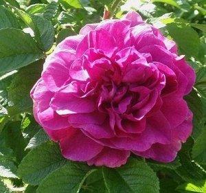 Роза rugosa (сорт 'HANSA')