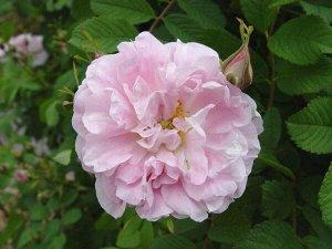 Роза (сорт 'Martin Frobisher')