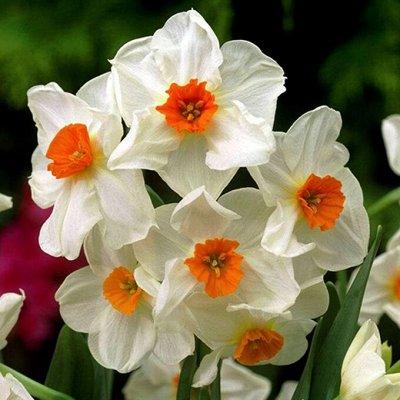 Луковицы тюльпана, крокуса, ириса и гиацинта — Нарциссы