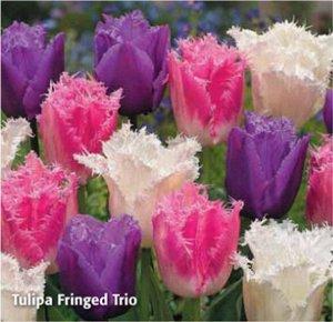 Тюльпан Фринджед Трио микс (Tulip Huis ten Bosch, Tulip Louvre, Tulip Honeymoon)