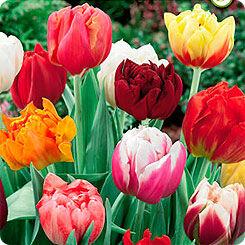 Луковичные на осень-тюльпаны, нарциссы, лилии — Готовые комбинации