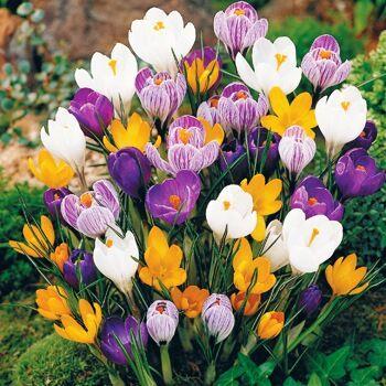 Луковичные на осень-тюльпаны, нарциссы, лилии — Крокусы