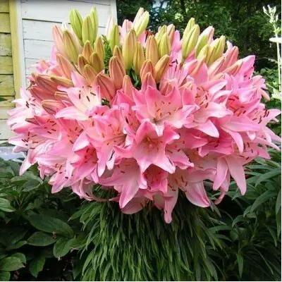 Луковичные на осень-тюльпаны, нарциссы, лилии — Лилии