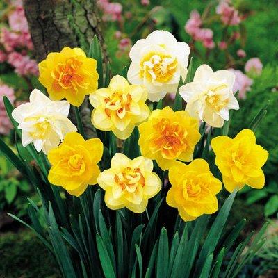Луковичные на осень-тюльпаны, нарциссы, лилии — Нарциссы