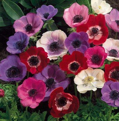 Луковичные на осень-тюльпаны, нарциссы, лилии — Разные виды