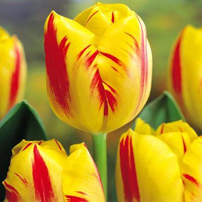 7 цветов! Тюльпаны штучно и наборами — Тюльпан простой Шоу бокс 1
