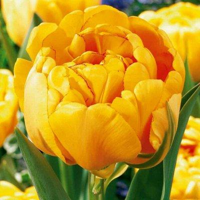Отличные луковки — Тюльпан махровый И БОТАНИЧЕСКИЕ