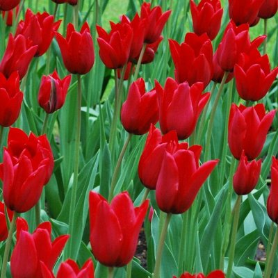 7 цветов! Тюльпаны штучно и наборами — Тюльпан лилиецветный 08 (шоубокс)