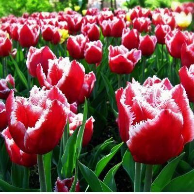 7 цветов! Тюльпаны штучно и наборами — Тюльпан бахромчатый 09 (шоубокс)