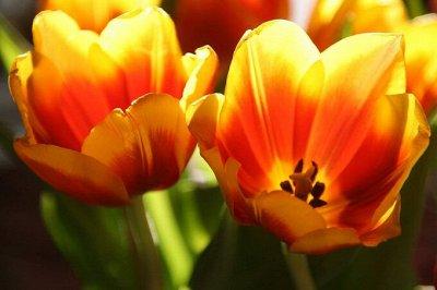 7 цветов! Тюльпаны штучно и наборами — Тюльпан ботанический 12 (шоубокс)