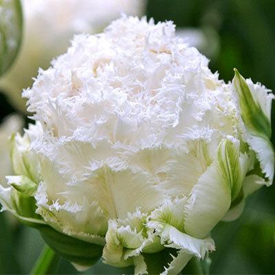 7 цветов! Тюльпаны штучно и наборами — Тюльпан махровый бахромчатый 13 (шоубокс)