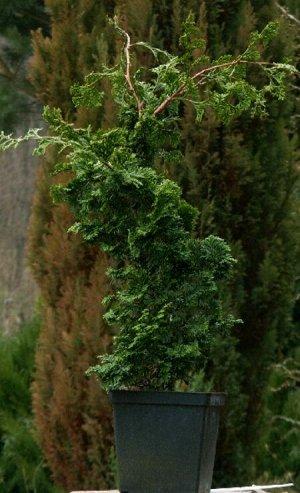 Кипарисовик тупой (сорт 'Oregon Crested')