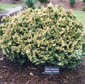 Кипарисовик Лавсона(сорт 'Pygmaea Argentea')