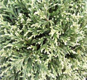 Кипарисовик горохоплодный(сорт 'White Pygmy')