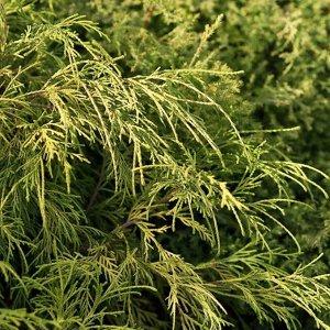 Кипарисовик горохоплодный(сорт 'Filifera Aurea')