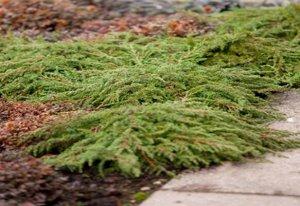 Можжевельник обыкновенный (сорт 'Green Carpet')