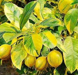 Лимон с желтой варигатностью