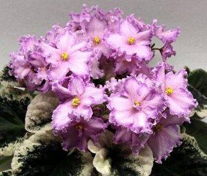 Фиалка Очень крупные розовые цветы с широкой малиновой каймой и тонкой белой волнистой каёмочкой. Бело – зелёная пёстрая листва.