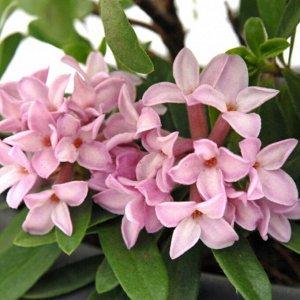Дафне (сорт 'Pink Fragrance')