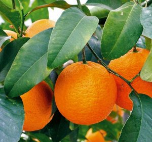 Лимон Волкамериана