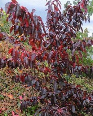 Бересклет grandiflorus (сорт 'RUBY WINE (R)')