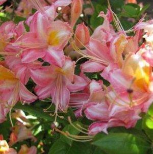Азалия (сорт 'Bouquet de Flore')