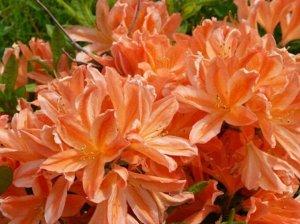 Азалия (сорт 'Spek's Orange')