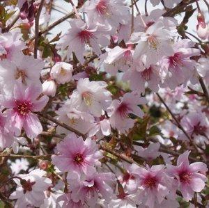 Вишня декоративная, или сакура (сорт 'Mikinori')