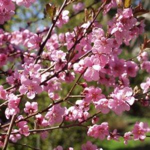 Миндале-персиковый гибрид (сорт 'Spring Glow')